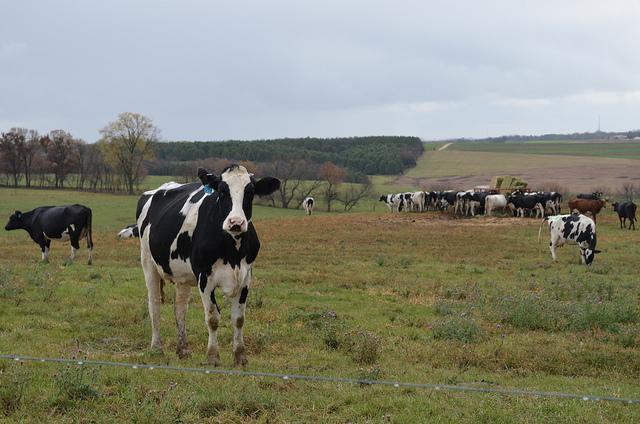 Mixed breed cows at Uplands Cheese (WBEZ/Louisa Chu)
