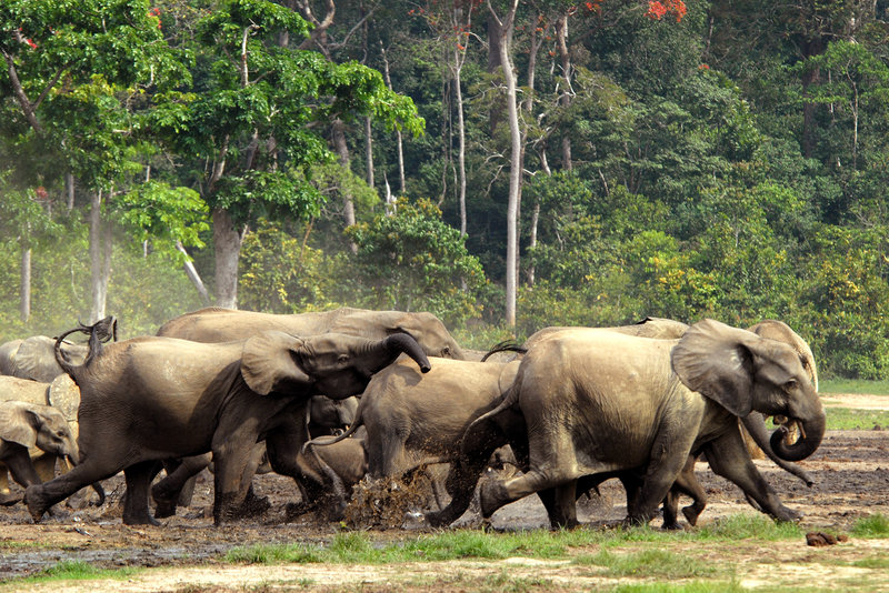 A stampede of African forest elephants in the Central African Republic jungle. (Courtesy of Cornell Lab or Ornithology)