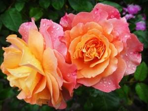 rose-174817_640