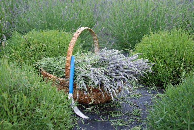 Lucky in Lavender' - Blue Skye Lavender Farm in Virginia