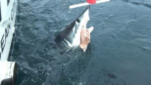 shark6