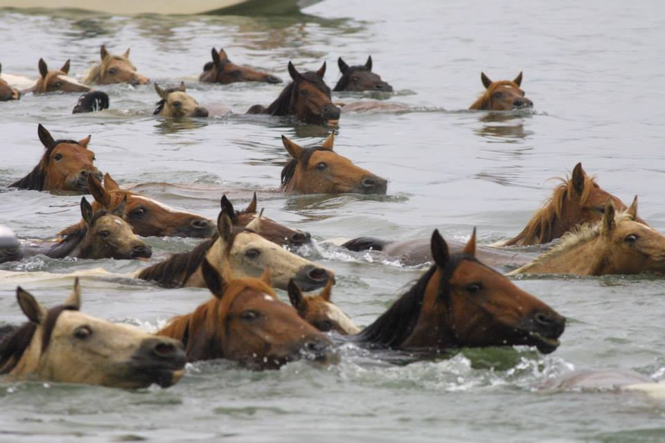 Annual Chincoteague Pony Swim and Auction - DelmarvaLife