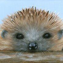 hedgehog called Freddie