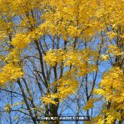 Yellow in the Tree