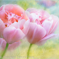 Softly Tulips