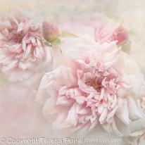 Softly Roses