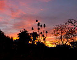 Teazle sunrise