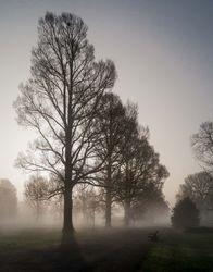 Elms in the mist