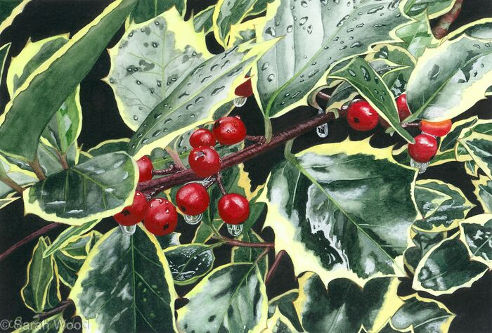 Holly, Ilex aquifolium. Limited Edition Print