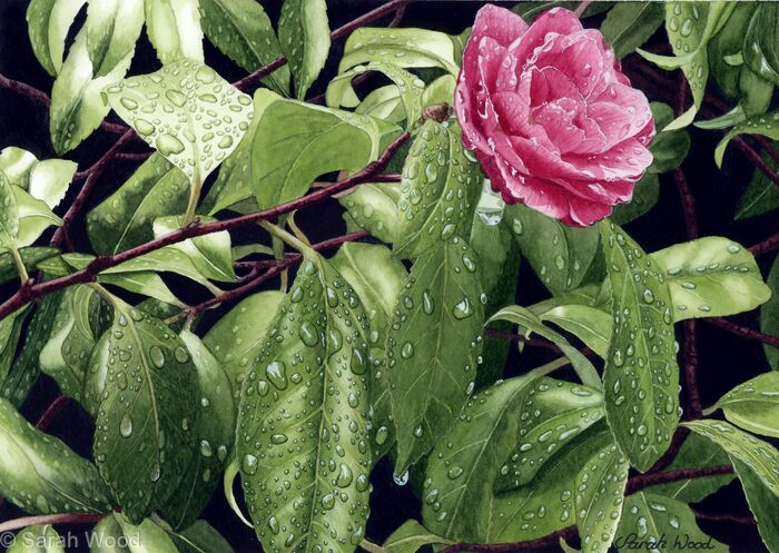 Camellia with raindrops. Limited Edition Print