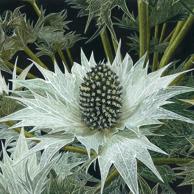 Sea Holly, Eryngium.  Limited Edition