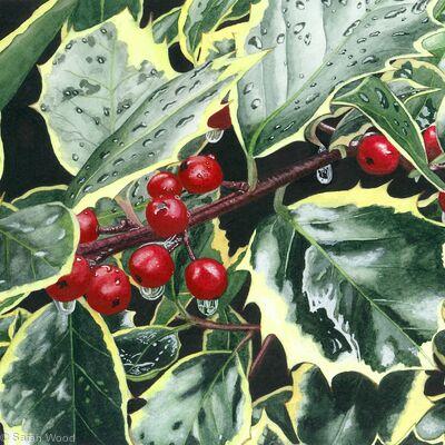Holly, Ilex aquifolium. Limited Edition Print