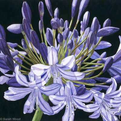 Agapanthus. Limited Edition