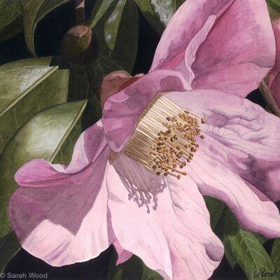 Camellia x williamsii. Giclee Print