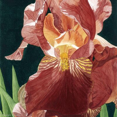 Iris. Original watercolour & gouache art work
