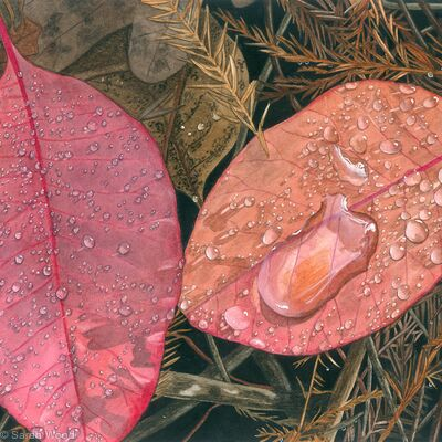 Cotinus coggygria, Smoketree. Giclee Print
