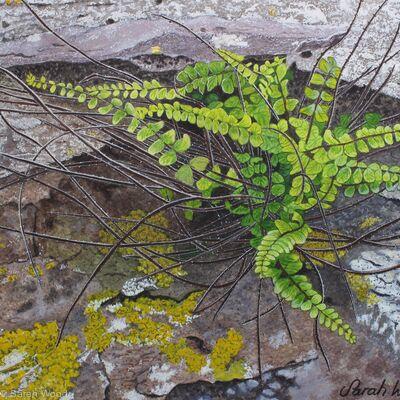 Maidenhair spleenwort, Original watercolour and gouache art work.