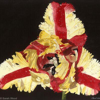Tulipa Estella Rijnveld, single flower, Giclee Print