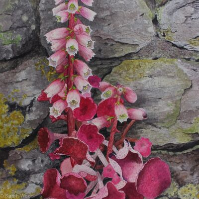 Navelwort, Original watercolour and gouache art work