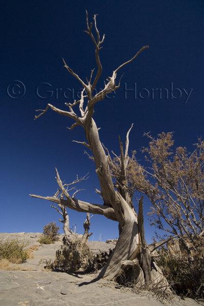 Dead Mountain Olive Tree, Oman