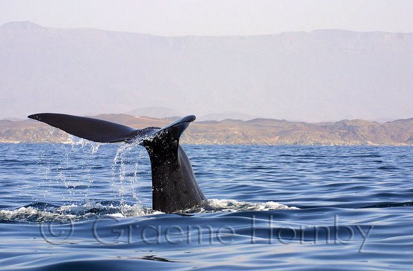 Humpback Whale Fluke, Halaniyat Islands, Southern Oman