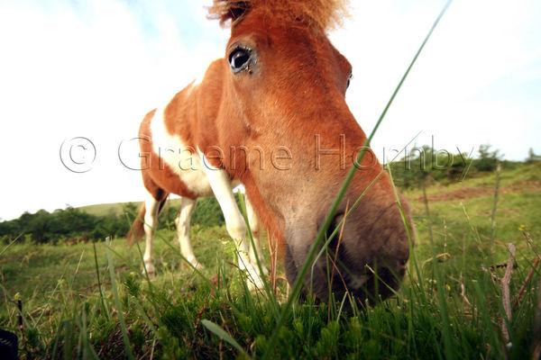 Pyrenean Horses
