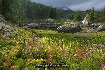 Alpin Flora, Julian Alps, Slovenia