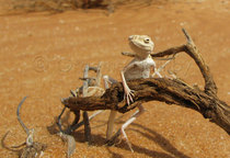 Toad-headed Agama, Liwa,UAE