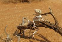 Toad-headed Agama, Liwa,UAE
