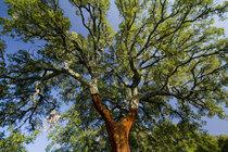 Stripped Cork Oak, Andalucia