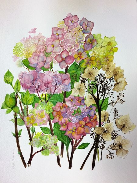 Hydrangea's Changing Colours