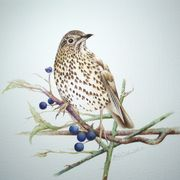 Garden Moments - Song Thrush