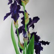 Black Tie Affair  Bearded Iris