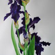 Black Tie Affair  Bearded Iris