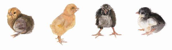 Various chicks