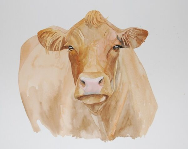 Luing cow