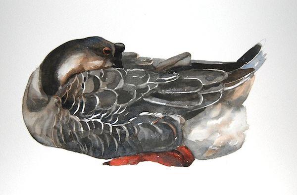 Chinese Goose asleep