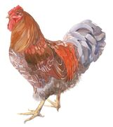 Blue Laced Wyandotte Cock
