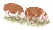 Hereford Gilts