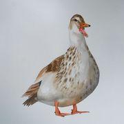 Silver Appleyard duck