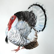 Royal Palm turkey