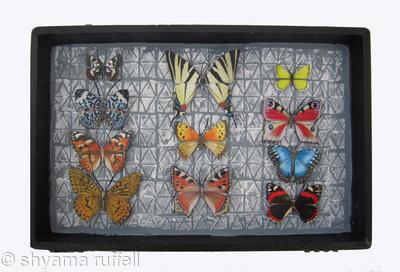 Mauris Papiliones x 11#27