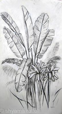 Banana Palm Study