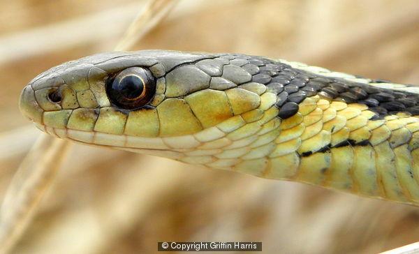 Chicago Garter Snake