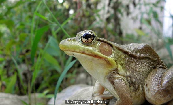 Green Frog (Pondering?)