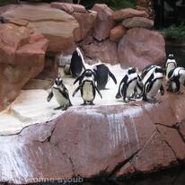 Penguins - Las Vegas