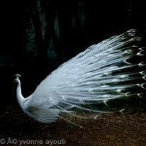 Peacock 001