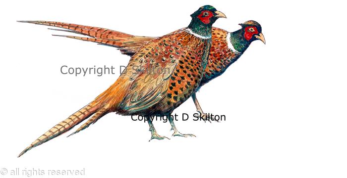 males pheasant watercolour