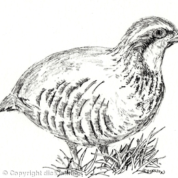 partridge drawing as a greeting card (pack of 6) personalised  with your infomation or message