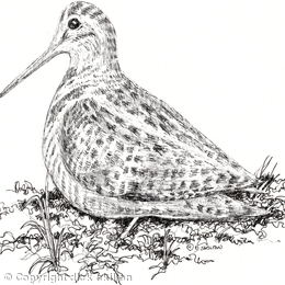 Woodcock drawing as pack of 6 greeting cards ( personalised by you)